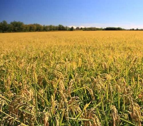 sementes arroz grãos de ouro da carolina hortas p/mudas