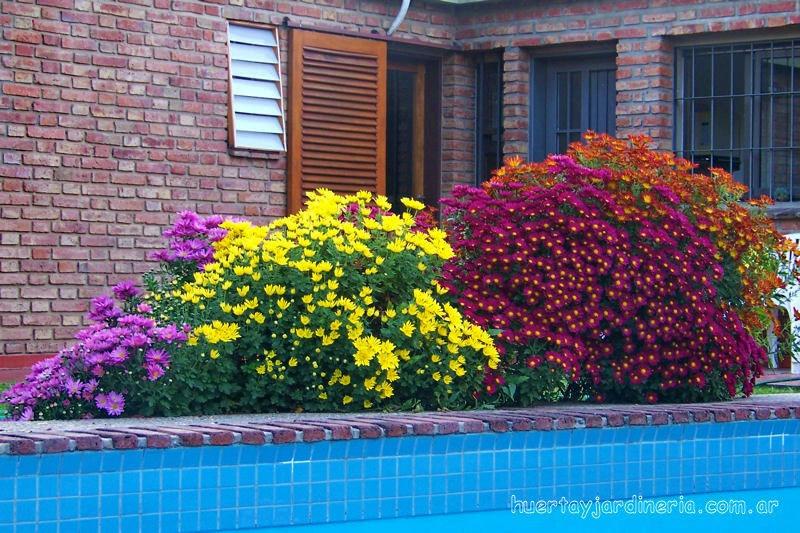 Sementes bel ssima flor cris ntemo hibrido dobrado sortido - Como cultivar crisantemos ...