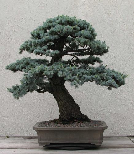sementes bonsai cedro do líbano cedrus libani p/ mudas