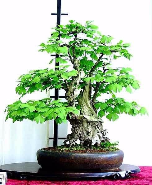 sementes bonsai ginkgo biloba p mudas rvore medicinal. Black Bedroom Furniture Sets. Home Design Ideas