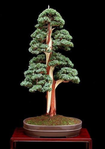 sementes bonsai sequoia gigante sequoiadendron giganteum