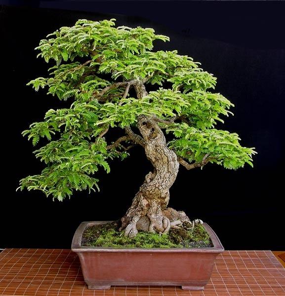 Sementes bonsai tamarindus indica tamarindo arvore p mudas r 13 99 em mercado livre - Como cuidar bonsais ...
