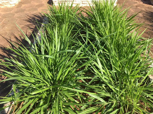 sementes brachiaria brizantha 60kg - planta 7 ha marandu