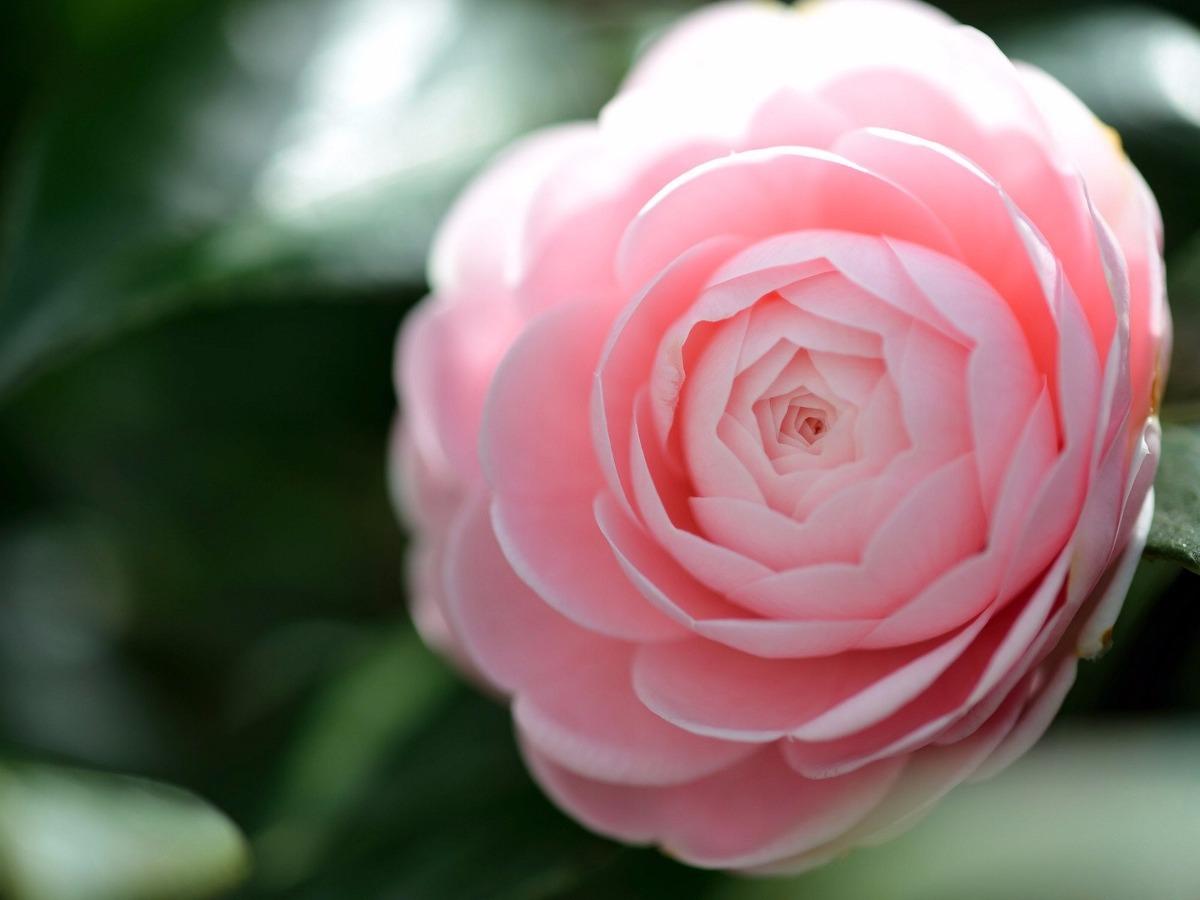 Sementes camellia japonica camelia flores gigante rosa - Camelia giapponese ...