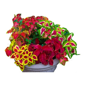 Sementes Coleus Sortidos Ou Arco-íris P/ Vasos E Jardins