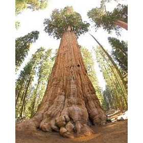 Sementes Da Árvore Sequóia Gigante  Sequoiadendron Giganteum