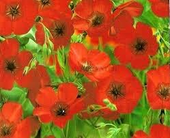 sementes da flor linho vermelho
