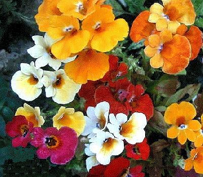 sementes da flor nemésia triunfo sortida