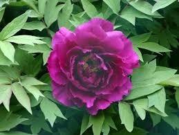 sementes da flor  peonia roxa