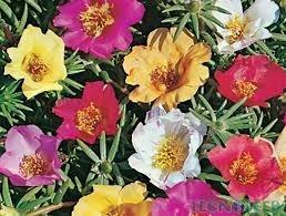 sementes da flor portulaca frete grátis