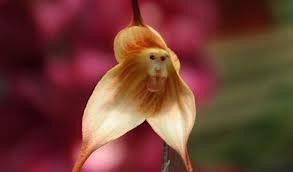 sementes da orquídea cara de macacos  frete gratis via carta