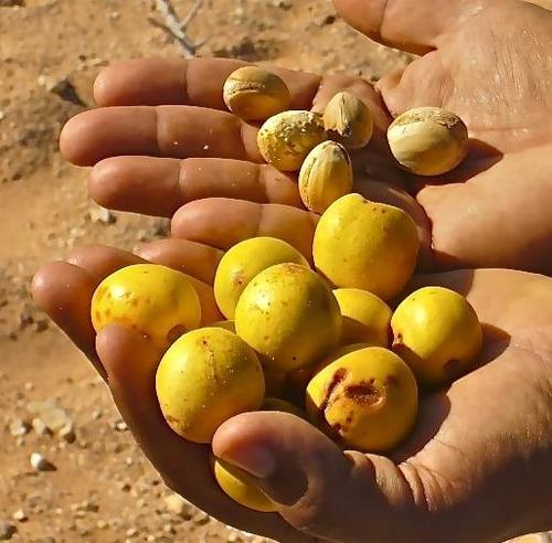 sementes de argania spinosa argan ouro marroquino