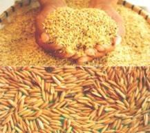 sementes de arroz blue bonnet - graos mudas bulbos rizomas
