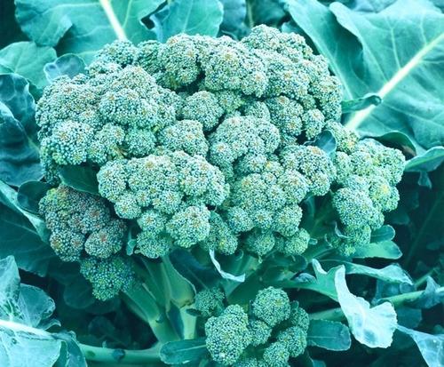 sementes de brócolis ramoso híb. ramirez - 5.000 sementes