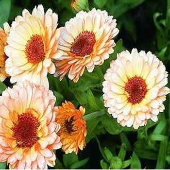 sementes de calendula importadas surprise