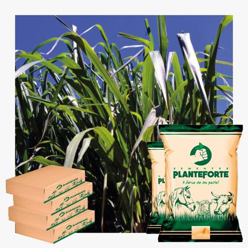 sementes de capim massai 20kg - frete grátis - safra 2019