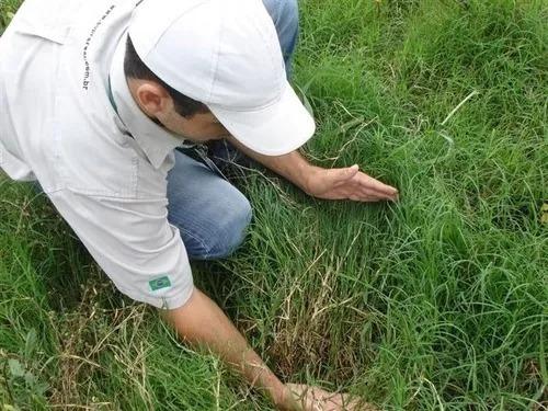 sementes de capim vaquero p/ equinos,bovino,ovinos ( 5 kg )