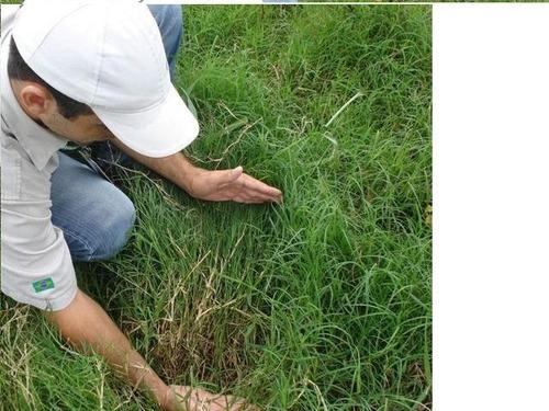 sementes de capim vaquero - pacote com  5 kg