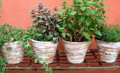 sementes de cominho plante em vasos !