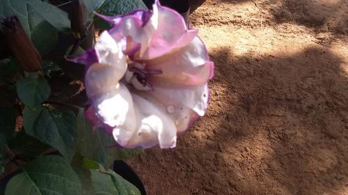 sementes de datura metel saia roxa