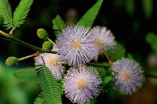 sementes de dormideira - mimosa pudica planta sensitiva flor