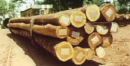 sementes de eucalipto urograndis - sementes pcsh 100g