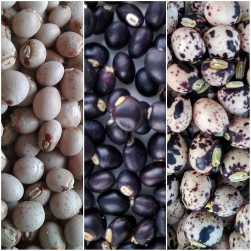 sementes de feijão guandú andú - kit 03 espécies + manual