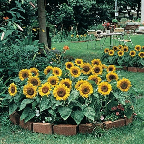 kobold o anao de jardim:Sementes De Girassol Anão De Jardim Para Mudas + Brinde – R$ 12,90 em