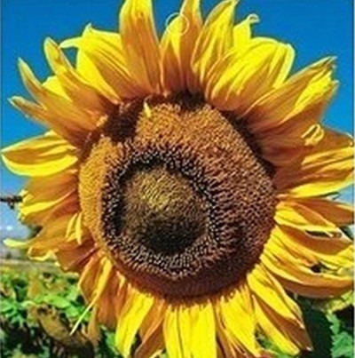 sementes de girassol gigante + frete registrado grátis!!!