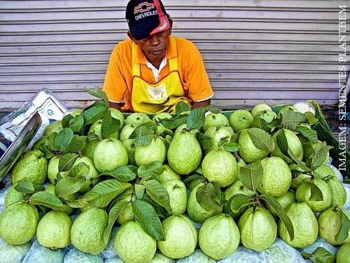 sementes de goiaba tailandesa gigante fruta rara - p/ mudas
