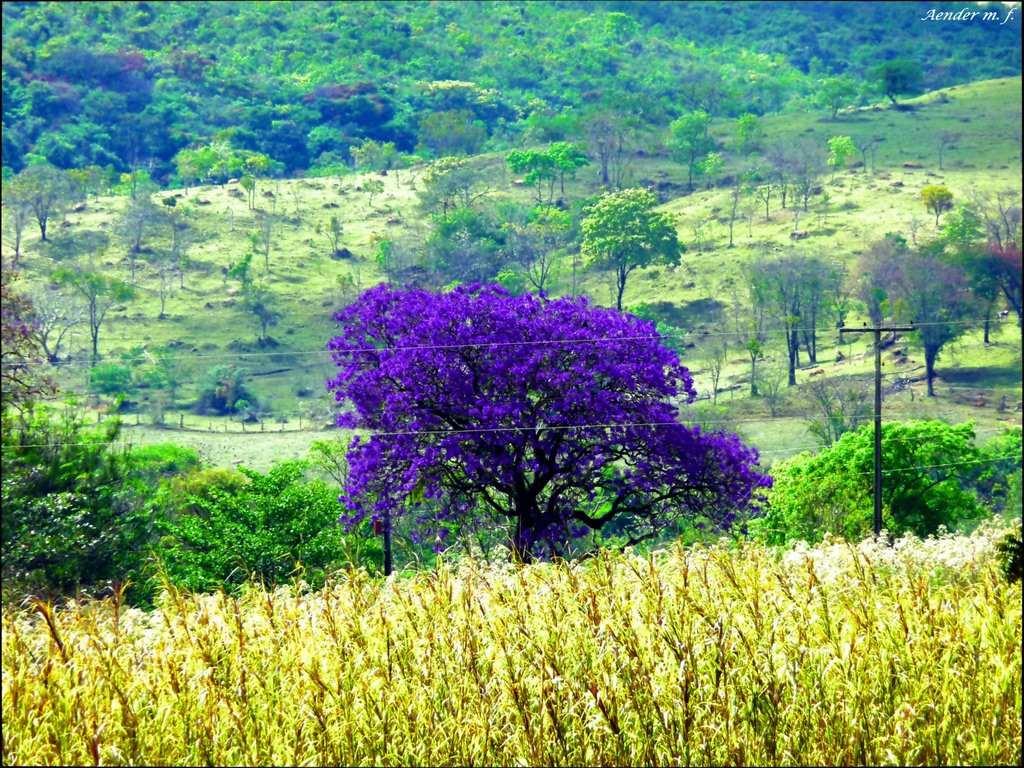 Sementes de jacarand mimoso roxo para mudas ou rvore r for Planta ornamental jacaranda