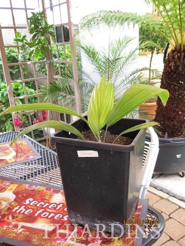 sementes de johannesteijsmannia altifrons, palmeira diamante