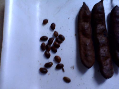 sementes de jucá da mata atlântica!!!