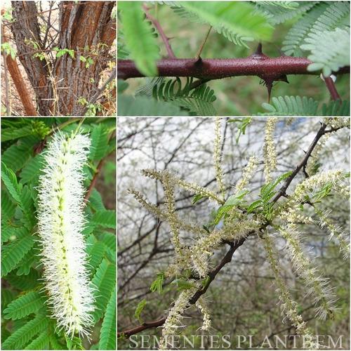 sementes de jurema preta mimosa hostilis verdadeira + manual