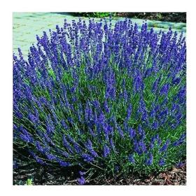 Sementes De Lavanda Azul Muito Rara Erva Aromática P/ Mudas