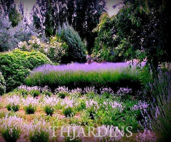 Sementes de lavandula angustifolia lavanda inglesa - Lavanda clima ...