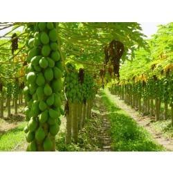 sementes de  mamão gigante