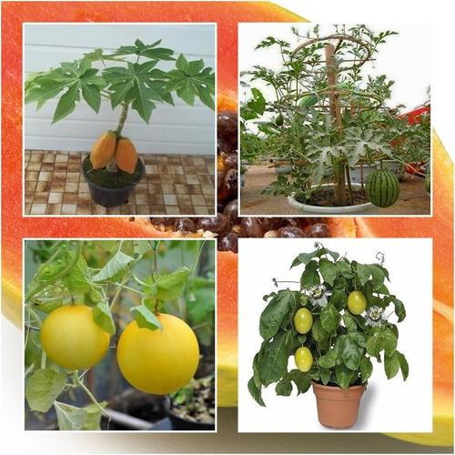 sementes de melancia anã, mamão , maracujá , melão p/ vasos