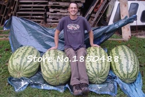 sementes de melancia gigante 15 sementes super promoção