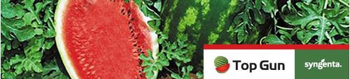sementes de melancia híbrida topgun 5.000 sementes