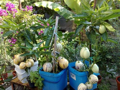sementes de melão andino para vasos pepino doce