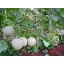sementes de melão renda orgânico 60 sementes