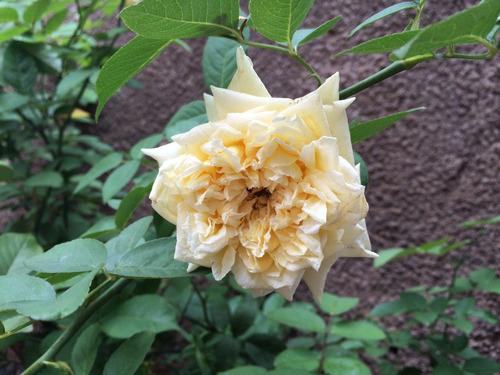 sementes de mini rosa branca-frete grátis carta simples