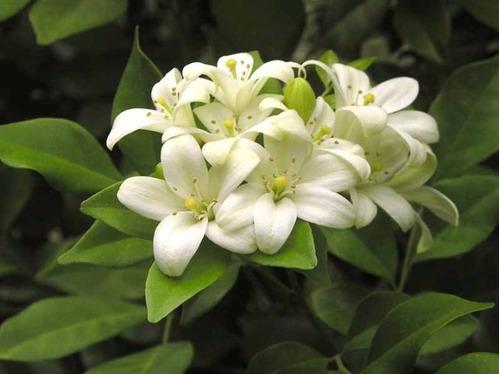 sementes de murta de cheiro - dama da noite