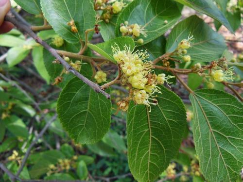 sementes de mutambo - arvore nativa