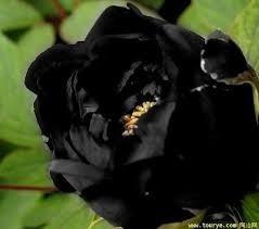 sementes de peonia preta