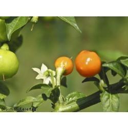 sementes de pimenta bode orgânica
