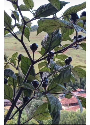 sementes de pimenta preta muito rara