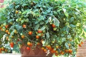 sementes de pimenta redonda para vaso