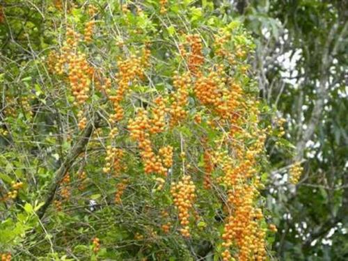 sementes de pingo de ouro - 25 sementes para mudas - cerca